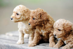 Little puppies Stock Images
