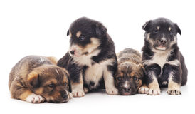 Little puppies. Royalty Free Stock Images