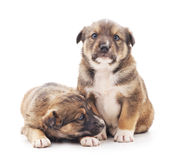 Little puppies. Stock Photography