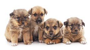 Little puppies. Stock Images