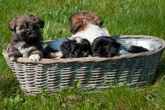 Little puppies in a wicker basket. Royalty Free Stock Image