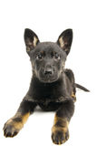 Little puppy. Royalty Free Stock Photos