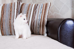 Little puppy. Sit on a couch Royalty Free Stock Images