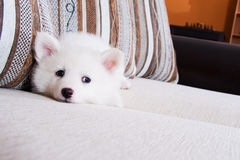 Little puppy. Lies on a couch Stock Photo