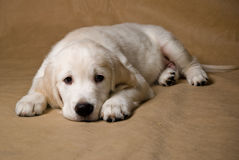 Little puppy. Golden retriever puppy on brown background Stock Photography