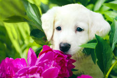 Little puppy. Little puppy white color in the colors of summer royalty free stock photos