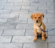 Little puppy Stock Photography