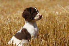 Little Puppy Stock Photos