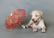 Little puppy American pit bull Terrier. In Studio Royalty Free Stock Photos