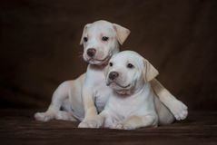Little puppy American pit bull Terrier Stock Photos