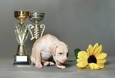 Little puppy American pit bull Terrier. In Studio Royalty Free Stock Image