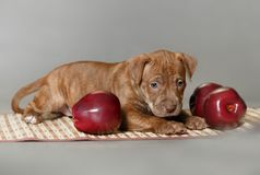 Little puppy American pit bull Terrier Royalty Free Stock Photos