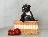 Little puppy American pit bull Terrier Stock Images