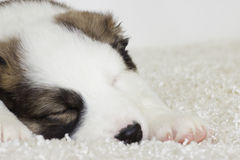 Little puppy asleep Stock Image