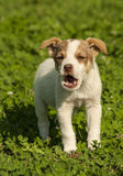 Little puppy barking. On green grass Royalty Free Stock Photo