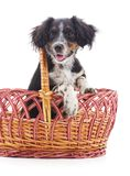 Little puppy in a basket. On a white background stock photos