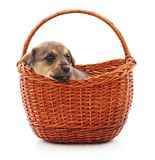 Little puppy in a basket royalty free stock images