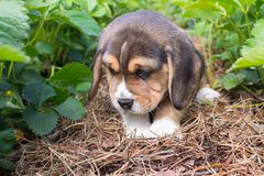 Little puppy beagle walks. Among strawberry leaves. shallow depth of field stock photo