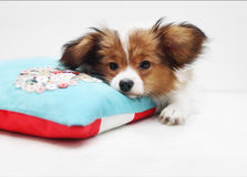 Little puppy on a bed Stock Images