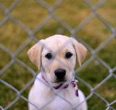 Little Puppy. A little puppy behind a fence stock photography