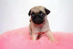 The little puppy of a beige Pug sits on a pink pillow. And observes a confused look Stock Photos