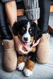 Little puppy of bernese mountain dog on hands of fashionable girl with a nice manicure. animals, fashion. And Stock Photography