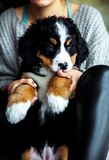 Little puppy of bernese mountain dog on hands of fashionable girl with a nice manicure. animals, fashion. A Royalty Free Stock Image