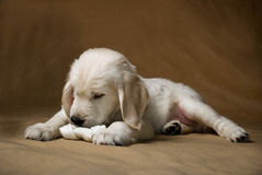 Little puppy with bone Royalty Free Stock Images