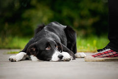 Little puppy border collie Royalty Free Stock Image