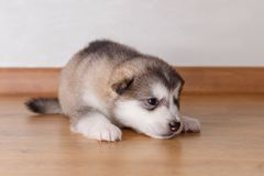 Little puppy of breed the Alaskan Malamute lying on the floor.  Stock Images