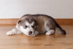 Little puppy of breed the Alaskan Malamute lying on the floor.  Stock Photo