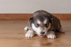 Little puppy of breed the Alaskan Malamute lying on the floor.  Royalty Free Stock Image
