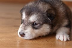 Little puppy of breed the Alaskan Malamute lying on the floor.  Stock Image