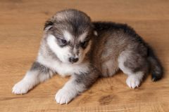 Little puppy of breed the Alaskan Malamute lying on the floor.  Royalty Free Stock Photos