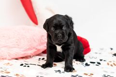 Little puppy breed Cane Corso. This is a large, massive, energetic, well-built dog. With a strong and muscular body royalty free stock photography