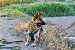 Little puppy breed German shepherd on a walk in the park lies on the grass and looks to the side he has his mouth open and he is. Very hot, the puppy wants to stock photography