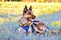 Little puppy breed German shepherd on a walk in the park lies on the grass and looks to the side he has his mouth open and he is. Very hot, the puppy wants to stock photo