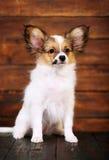 Little puppy breeds papillon Stock Image