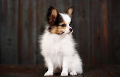 Little puppy breeds papillon Royalty Free Stock Photos