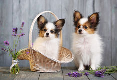 Little puppy breeds papillon Royalty Free Stock Image