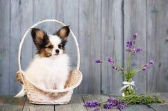 Little puppy breeds papillon Stock Photo