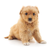 Little puppy. Little brown puppy on a white background Stock Images