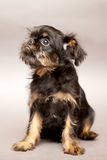 Little puppy Brussels Griffin Royalty Free Stock Photos
