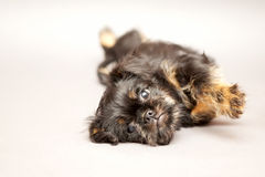 Little puppy Brussels Griffon. Little puppy of breed Brussels Griffon, lies royalty free stock photos