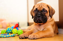 Little puppy bullmastiff. Played in the house stock photos