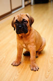 Little puppy bullmastiff Royalty Free Stock Images