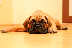 Little puppy bullmastiff Royalty Free Stock Photography