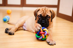 Little puppy bullmastiff. Played in the house royalty free stock photo
