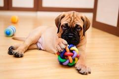 Little puppy bullmastiff royalty free stock photo