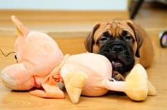 Little puppy bullmastiff Stock Image